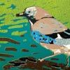 Vlaamse gaai (2020) linodruk (oplage 7) 20 x 30 cm